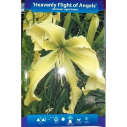 LILIOWIEC HEAVENLY FLIGHT OF ANGELS 1SZT B.KRÓLIK