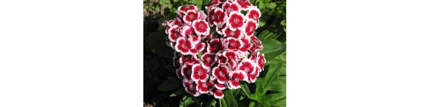 Kwiaty dwuletnie i wieloletnie